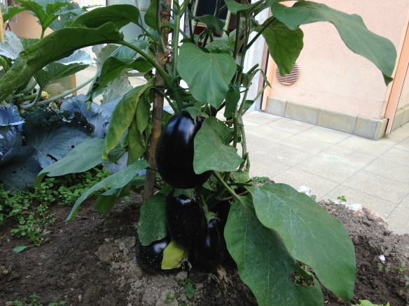 Eggplants! I have 3 plants just like this...