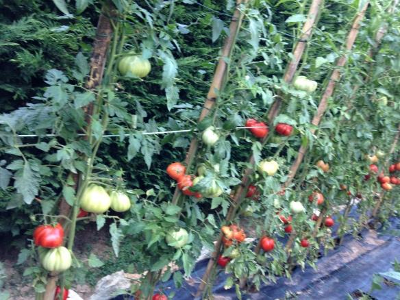 my tomato plants